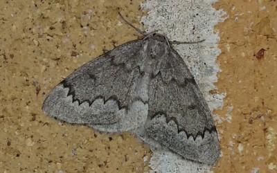 NYS Record Moth