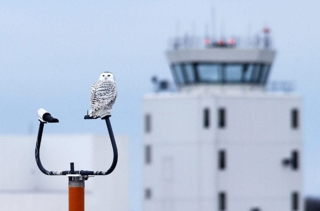 Snowy Owls and other Nuisance Wildlife at Airports