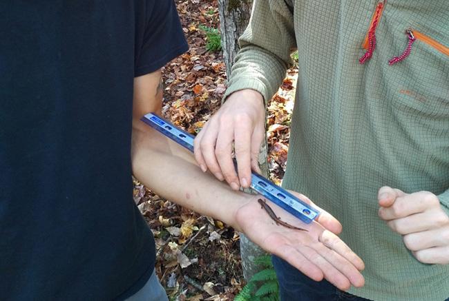 A salamander being measured