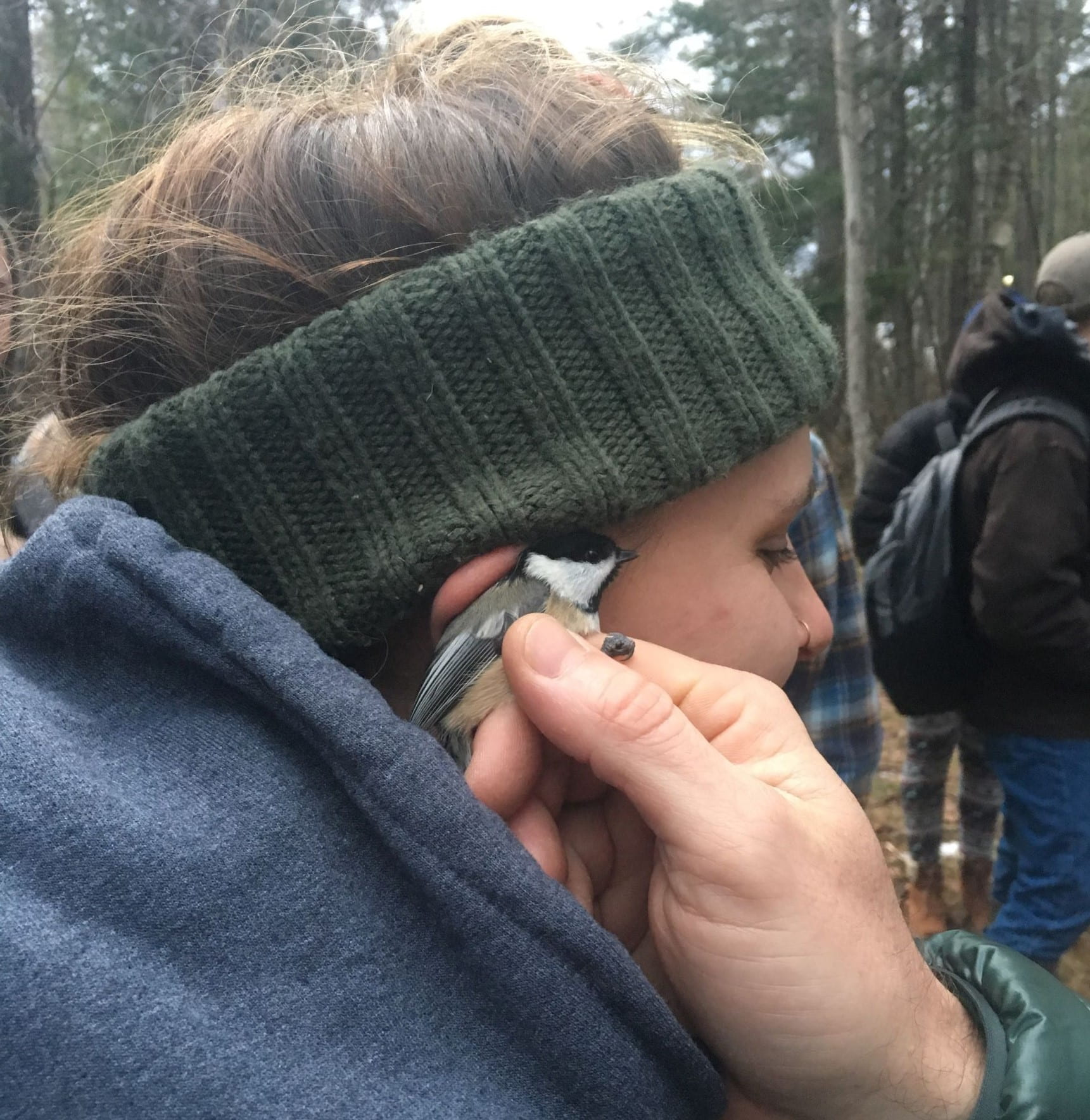 Listening to Black-capped Chickadee heartbeat
